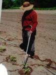 Apprentice Jacinda waters in the tomatoes, 2011