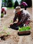 Planting the main crop tomatoes! 2011