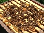 The new bees are getting busy building comb.